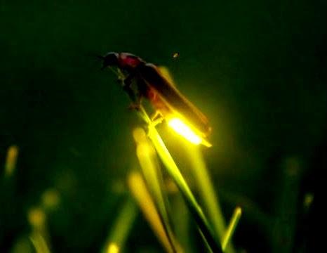Luciérnagas, un milagro de la naturaleza