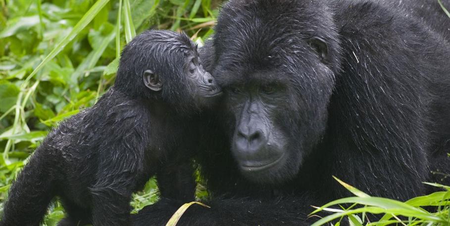 Uganda baby gorilla